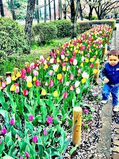 tulips in spring in Japanese park