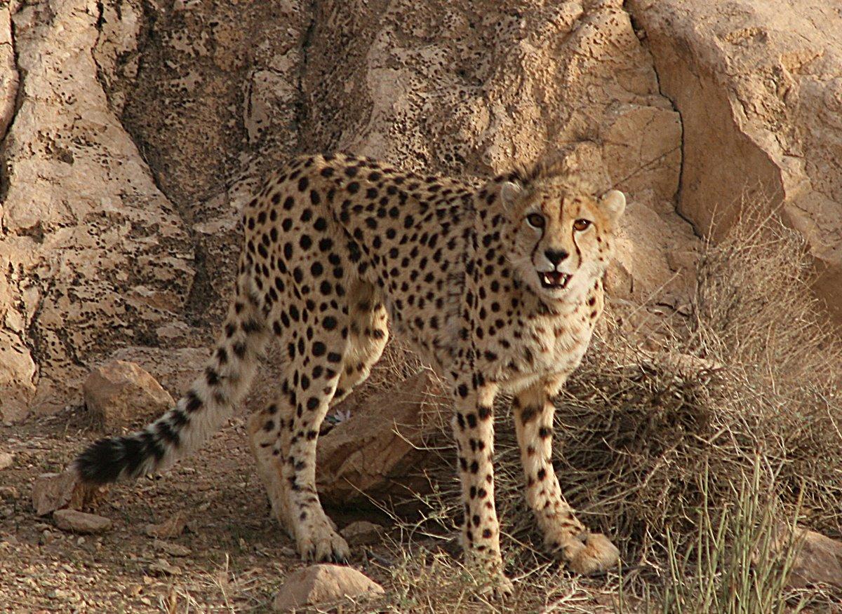 Top 20 Cheetah Facts  Diet Habitat amp More  Factsnet
