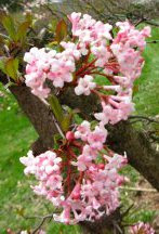 pink bodnant viburnum blooms in Mount Pleasant Cemetery by garden muses: a Toronto gardening blog