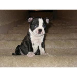 Boston Terrier Puppies on Boston Terrier Puppies Pictures   Puppies Dog Breed Information Image