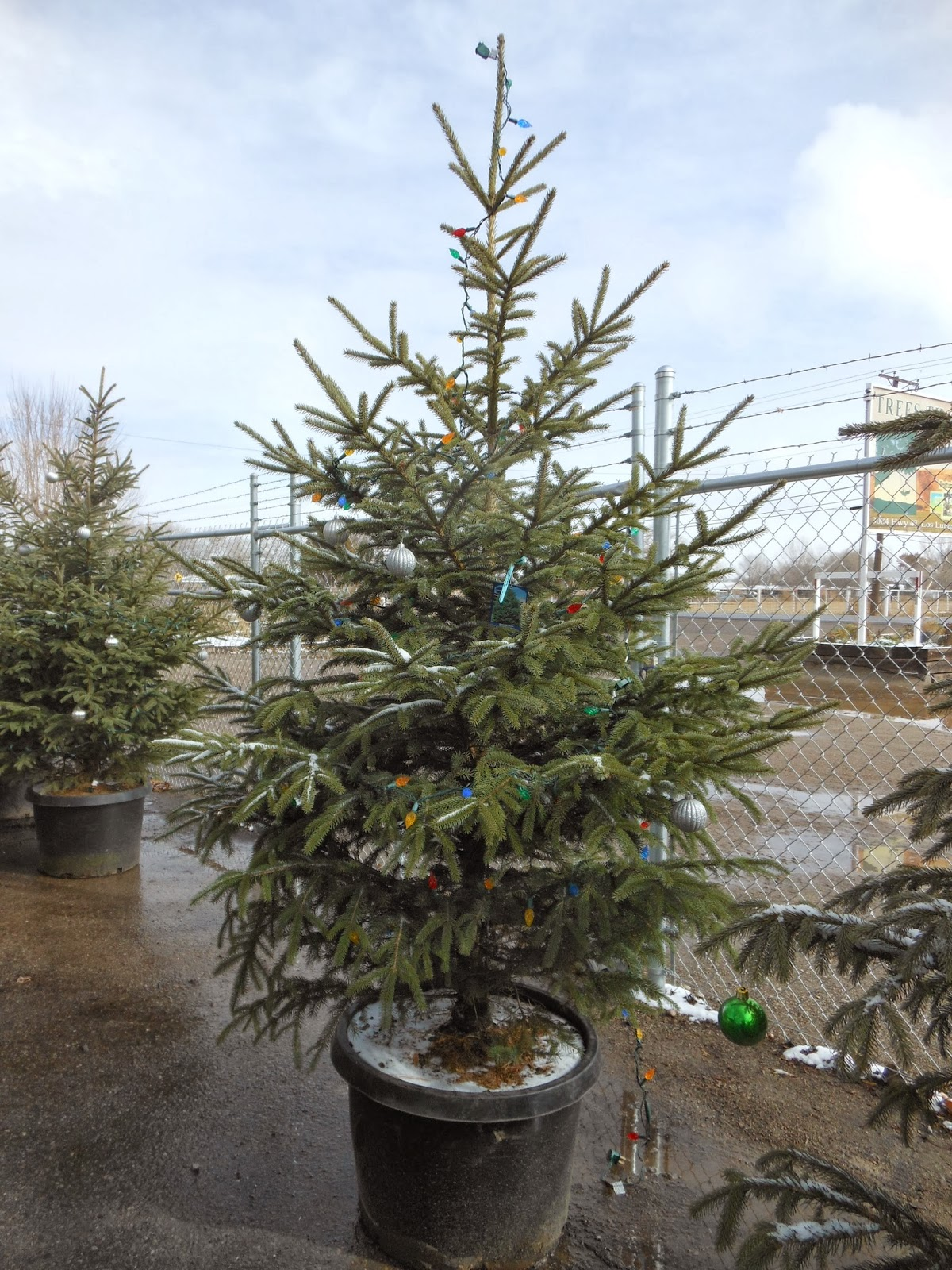 Buy Potted Christmas Tree