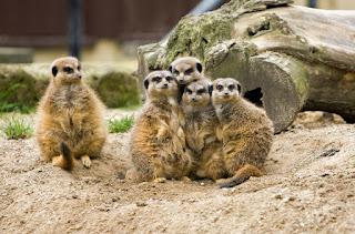Foto von einer Gruppe Erdmännchen, von denen vier aneinandergekuschelt stehen und eines mit etwas Abstand daneben.