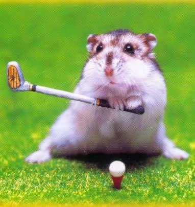 hamster kocak lagi main golf