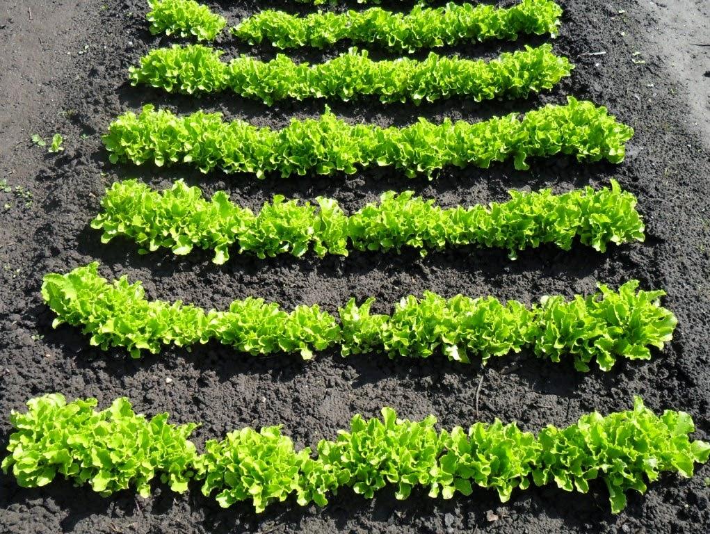 Салат отстает в развитии