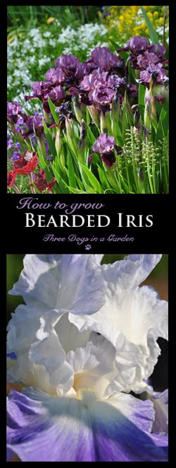 How to grow Bearded Iris