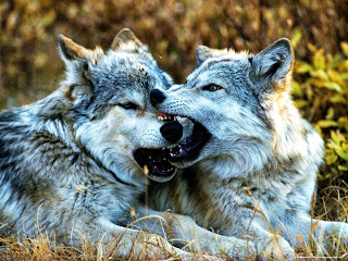 Lobos jóvenes