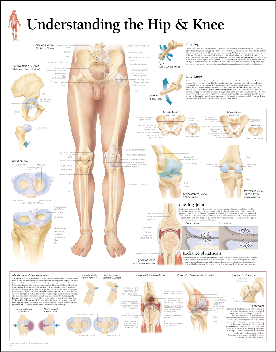 Human Body System How Hip Knee Works In Human Boday