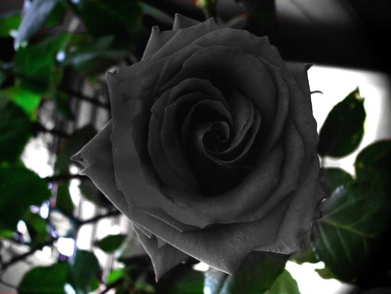 La Rosa Negra de Halfeti, Turquía