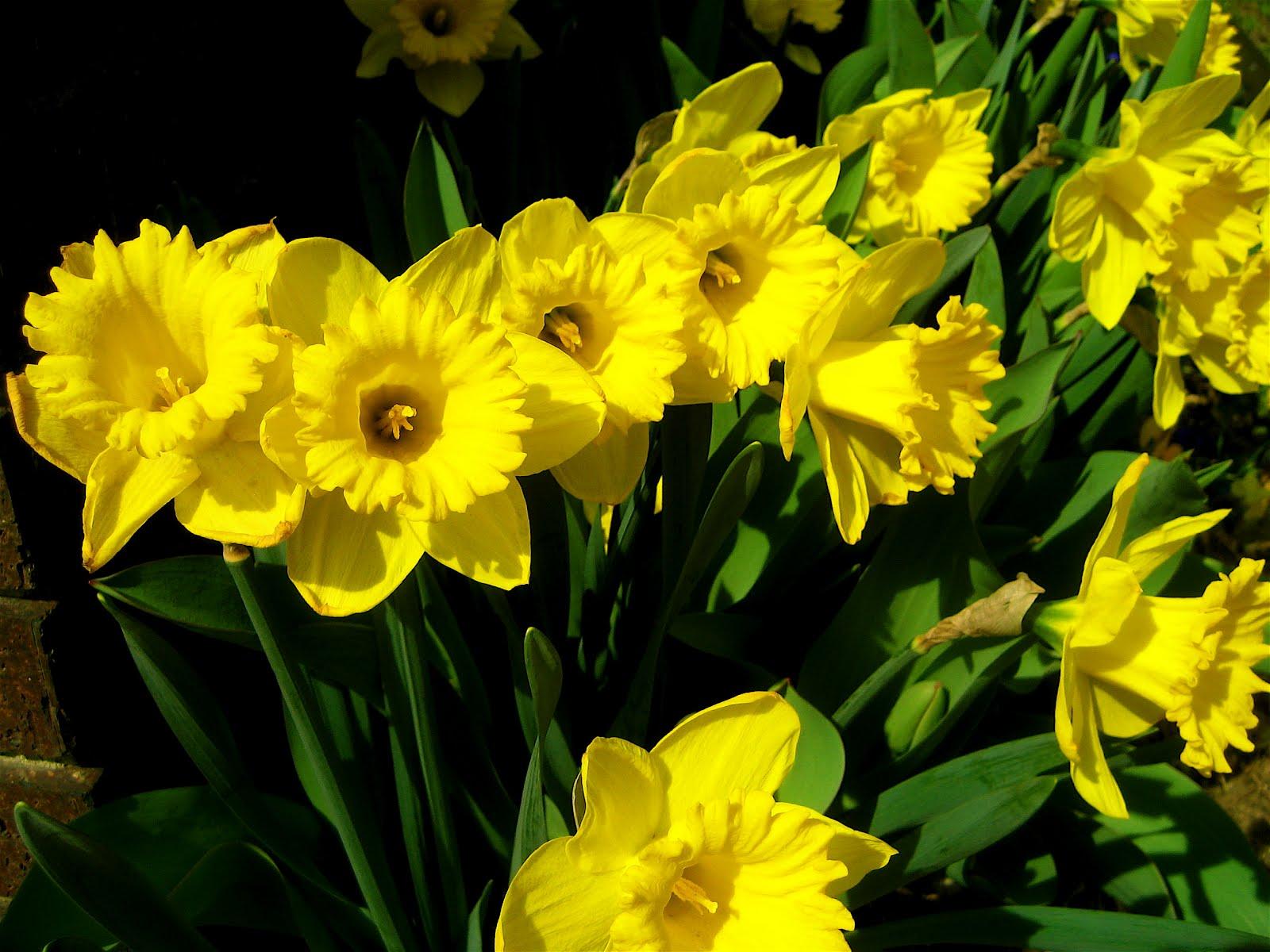 http://3.bp.blogspot.com/-EO6dLx0new4/T08_avFLRII/AAAAAAAAAAs/M9UIiedagWA/s1600/Narcissus_pseudonarcissus_%2528daffodills%2529_-_1.jpg