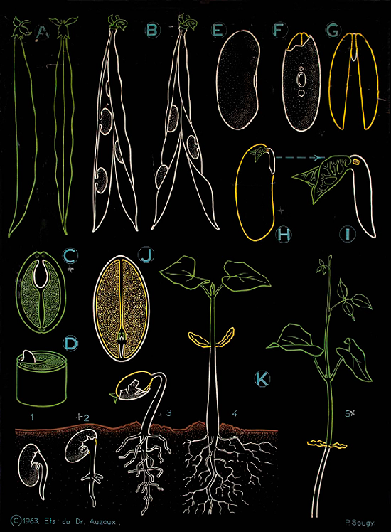 Bean life cycle illustration, The Art of Instruction