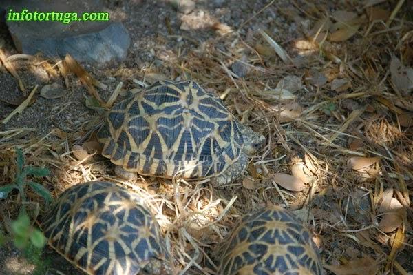 Tortugas estrelladas en un recinto al aire libre