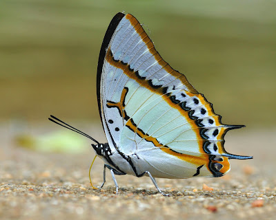butterfly-white-mix-color