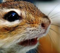 Chipmunk face