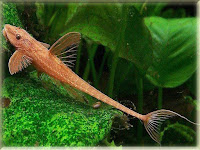 Whiptail Catfish Pictures