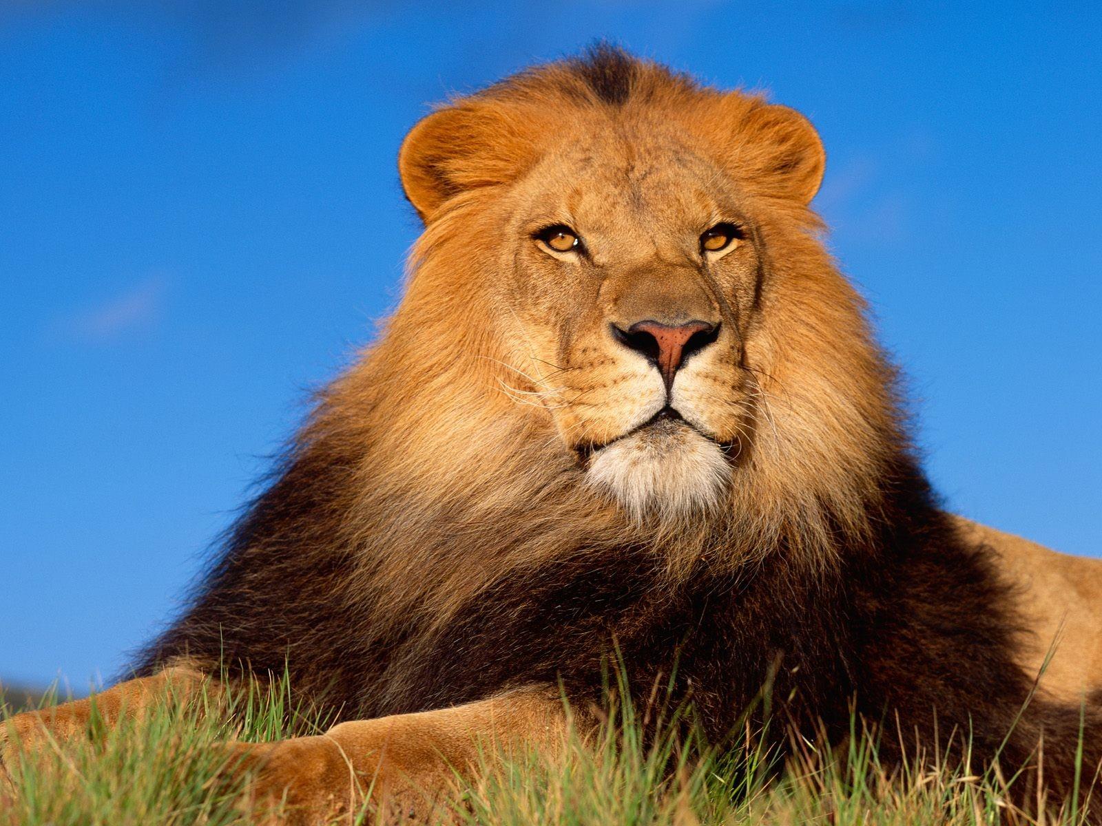 http://3.bp.blogspot.com/-EPdUE6gLhLo/UFbqTcGz9qI/AAAAAAAAFJA/oSGHelCpdQo/s1600/lion+wallpaper+44.jpg