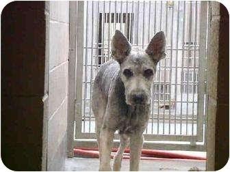 Briard Dog Rescue