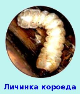 Личинка короеда редко применяется на рыбалке зимой, хотя и является прекрасной насадкой
