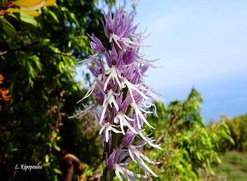 ΣΠΑΝΙΑ ΦΥΤΑ ΤΟΥ ΟΛΥΜΠΟΥ. Orchis italica