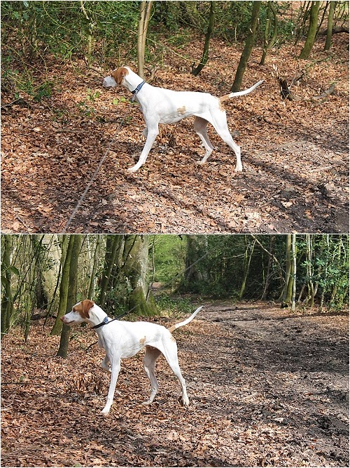 english pointer puppy pointing in woods
