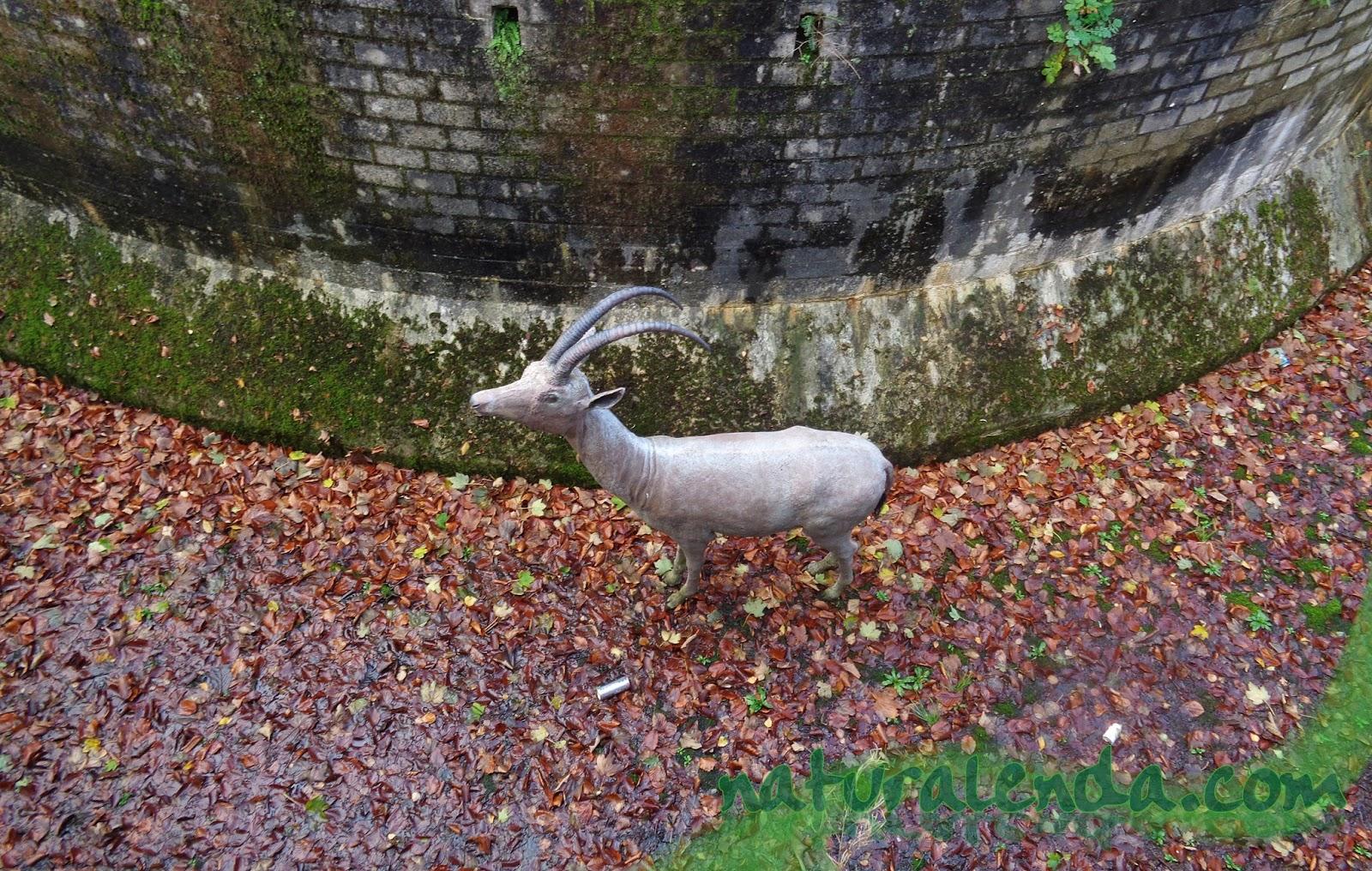 una cabra extinta por Maastricht