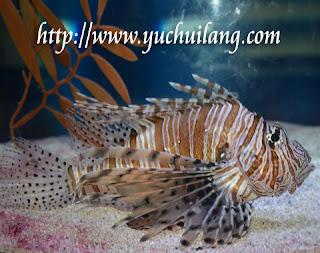 Ikan Singa