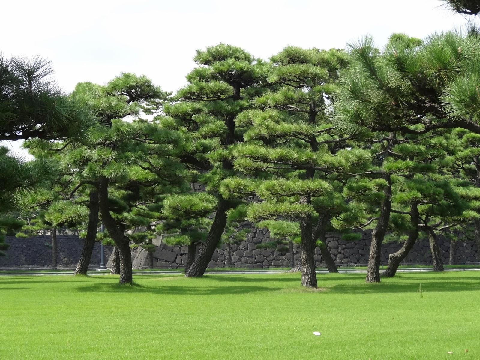 le blog de parcs et jardins de l 39 oise la taille des pins au japon. Black Bedroom Furniture Sets. Home Design Ideas