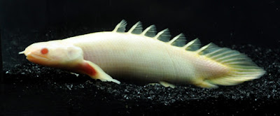 10 Ikan Prasejarah Yang Masih Ada Hingga Sekarang