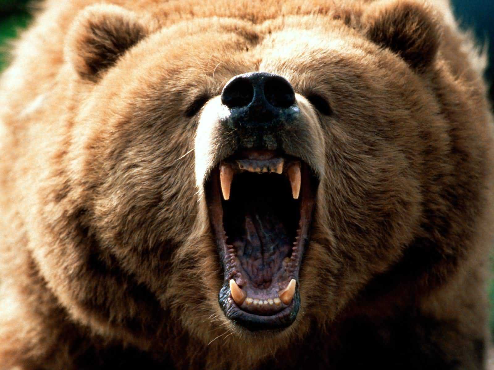 American News Broadcasting Grizzly Bear Kills Man At