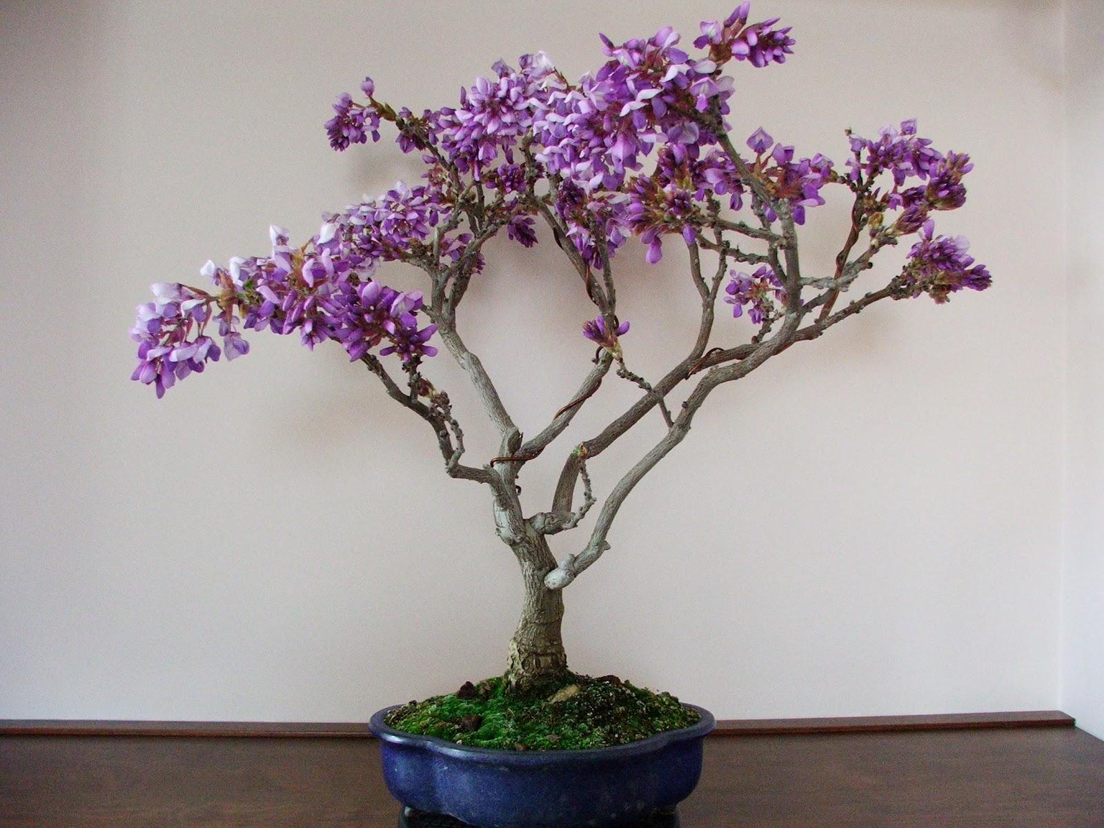 Evoluzione Bonsai Bonsai Di Glicine Wisteria Floribunda