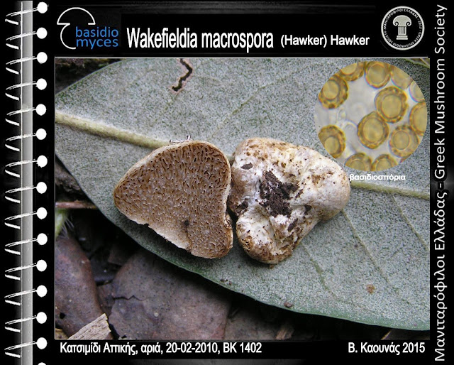 Wakefieldia macrospora (Hawker) Hawker