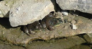 Rana clamitans melanota