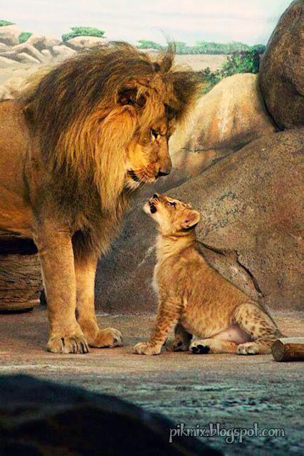 León y su cachorro ● Naturaleza  ● Padre e hijo