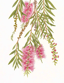 Calistemon - Bottlebrush July 2012