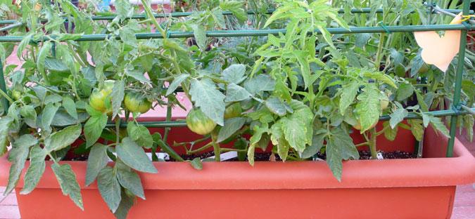 Natucampo cultivo del tomate - Tomates cherry en maceta ...
