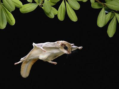 Thế giới động vật - loài sóc bay