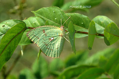 Mottled Emigrant Butterfly and Eggs