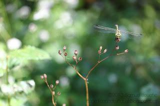 Macro insecte: libellule verte perchée