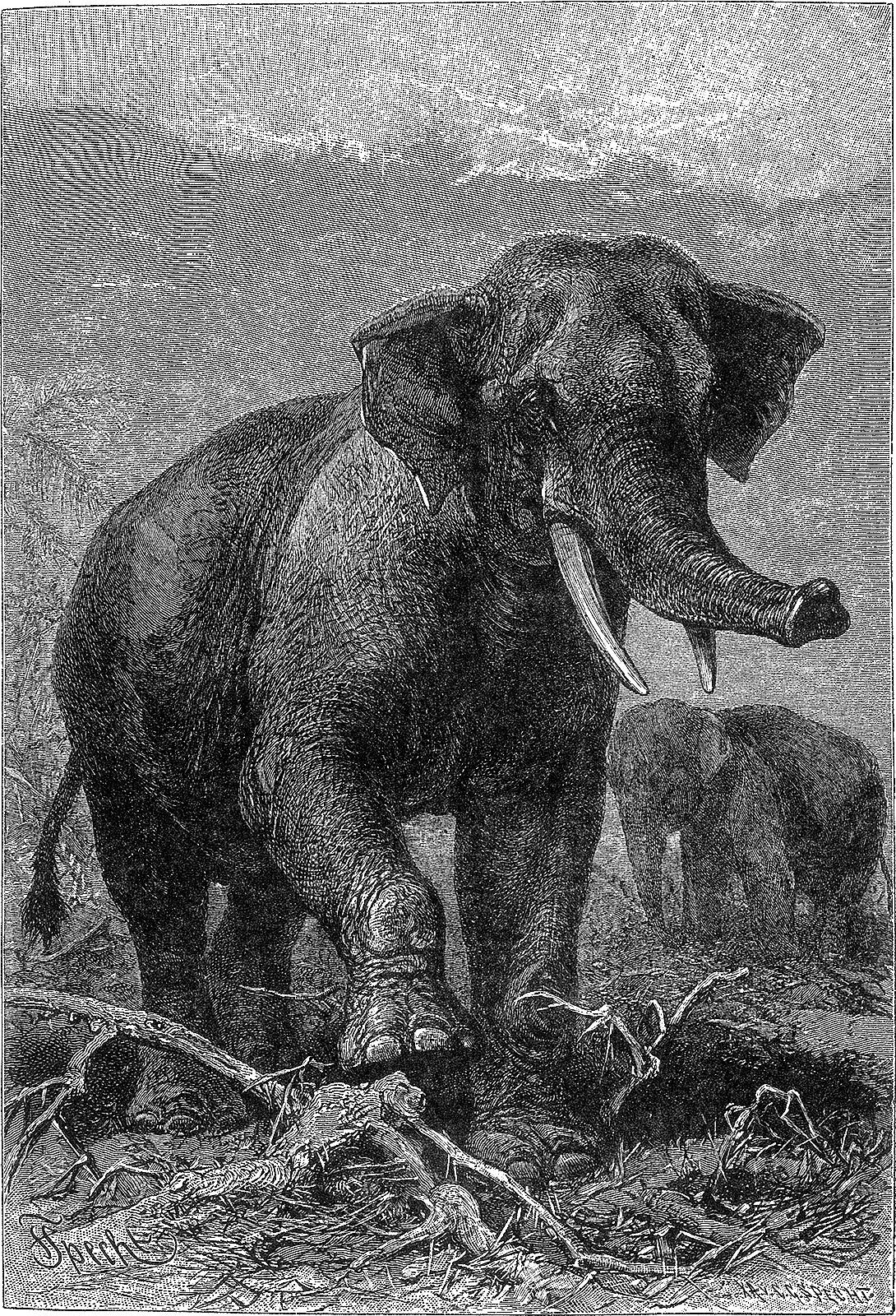 Слон индийский