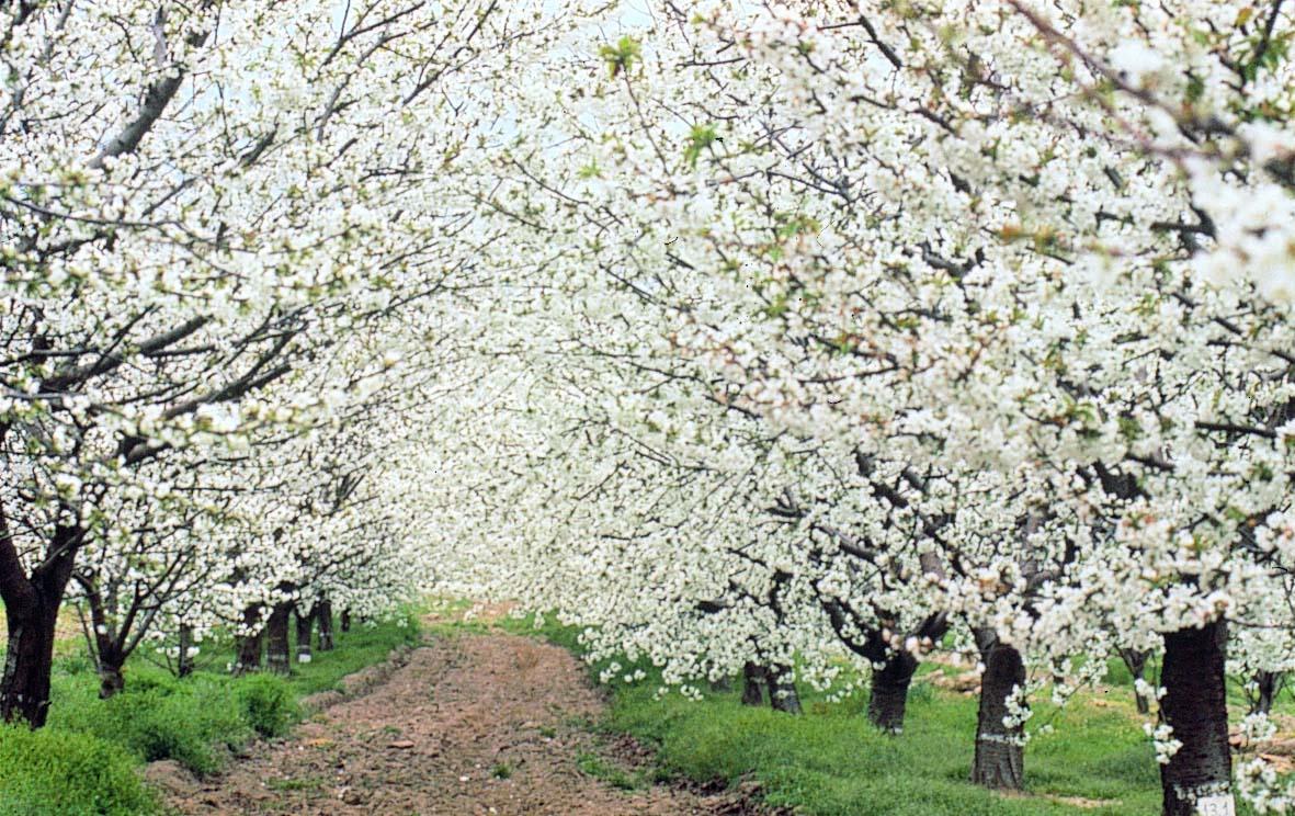 El til marcap ginas fiesta del cerezo en flor for Oficina de turismo valle del jerte