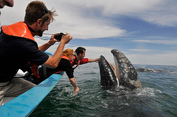 Friendly encounter ... mother whale gets patted by tourist