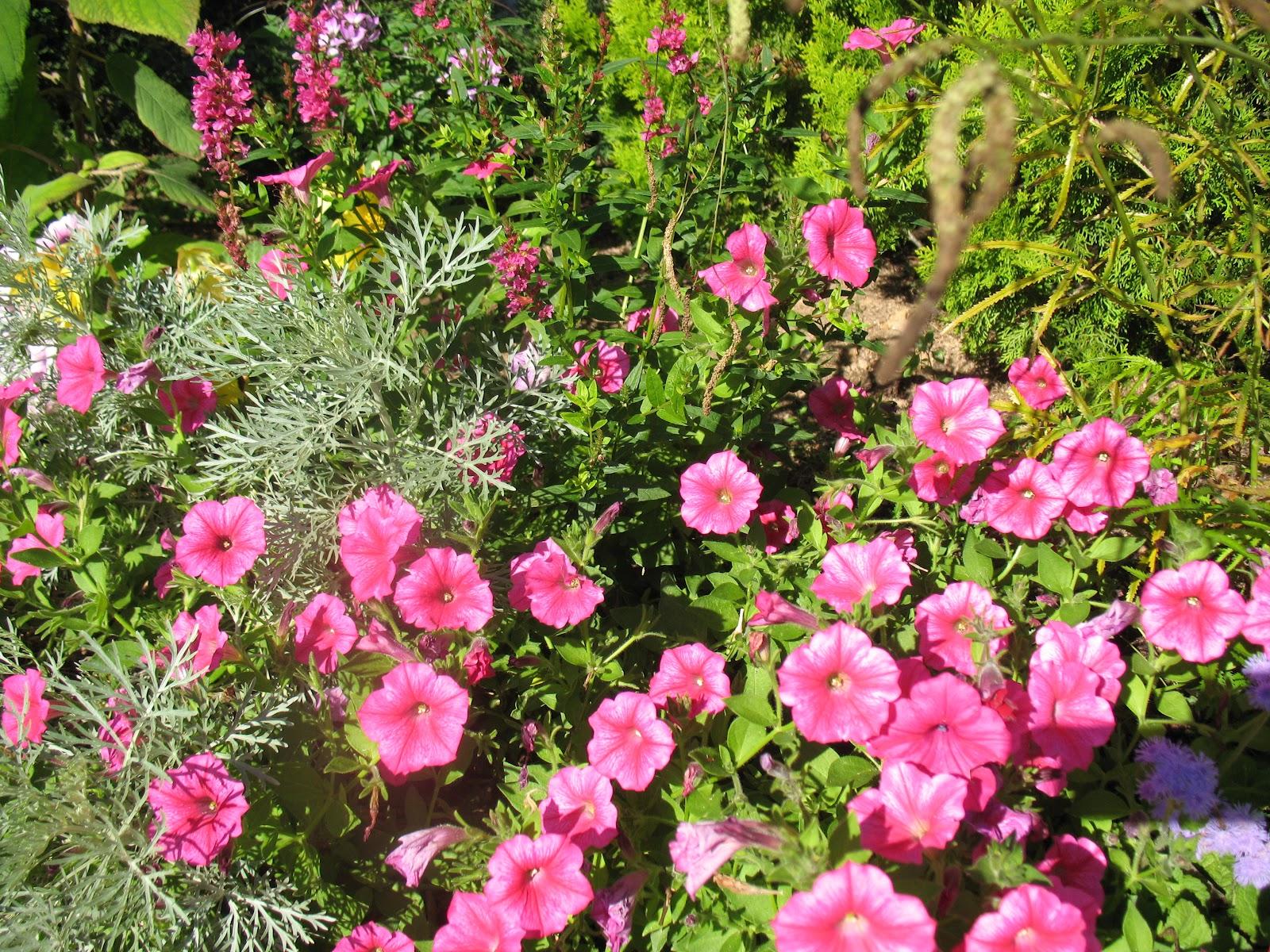 Roses du jardin ch neland un callibrachoa pour un t - Pour arroser un jardin il faut compter 6l ...
