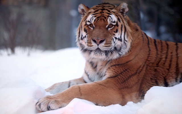 Photo of a tiger resting out in the snow in the winter