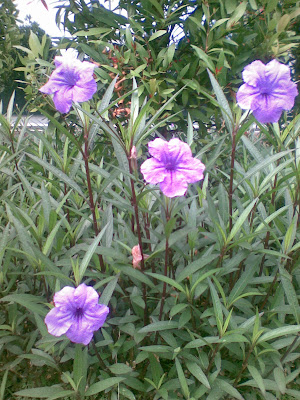 Jual pohon Ruelia bunga ungu