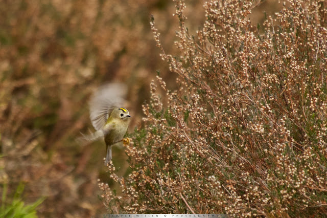 Goudhaantjes foerageren op de hei - Goldcrests foraging on heath