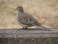 http://commons.wikimedia.org/wiki/File:Mourning_Dove_Image_002.jpg