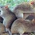 8 Cara Hebat Mengusir Tikus Secara Alami