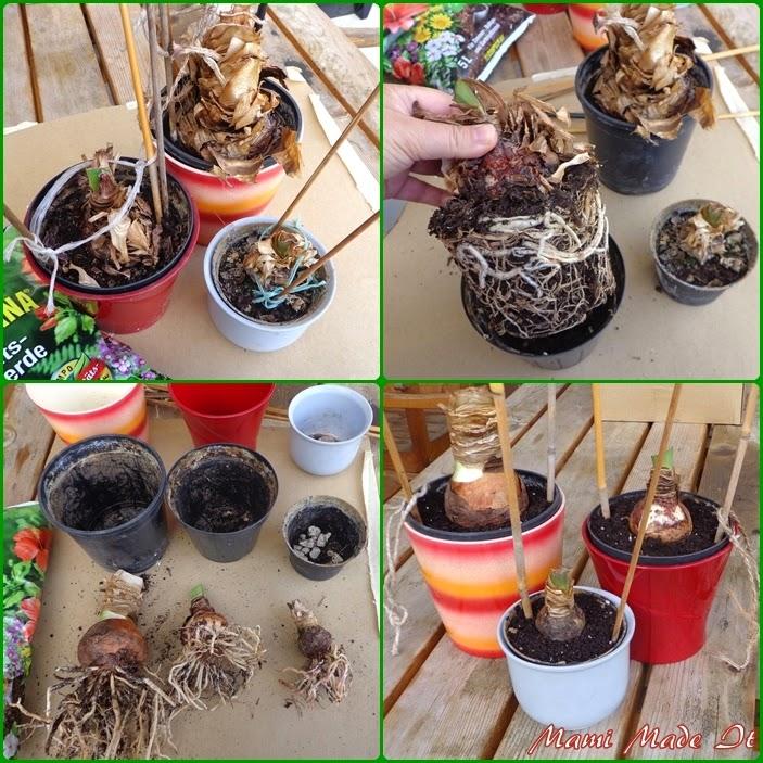 new pot for my amaryllis - Neuer Topf für meinen Ritterstern