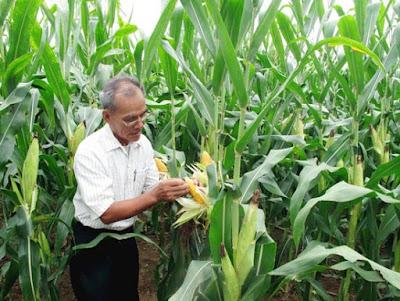 Bộ NN-PTNT tổ chức các cuộc khảo nghiệm trồng bắp biến đổi gen ở Buôn Ma Thuột và Phú Thọ