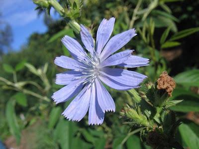 fotos de flores - flor azul