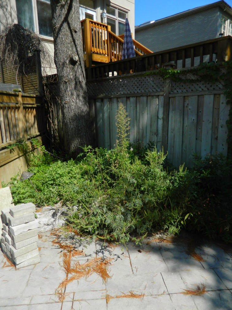 Bedford Park Toronto garden cleanup before Paul Jung Gardening Services